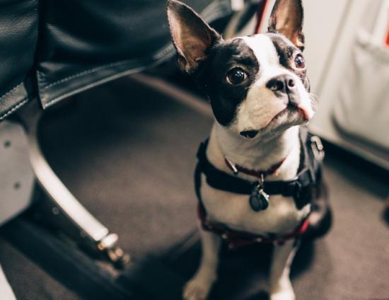 как везти собаку в самолете